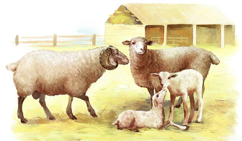 Семья баранов